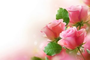pink rose wallpaper free