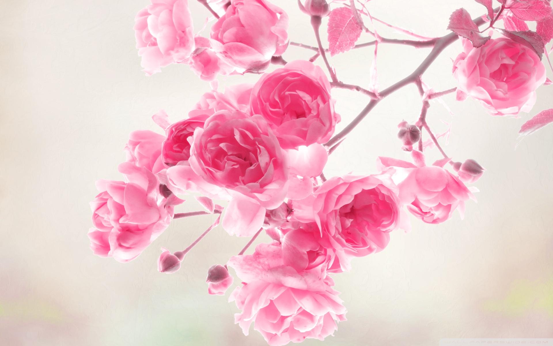 pink rose wallpaper nice