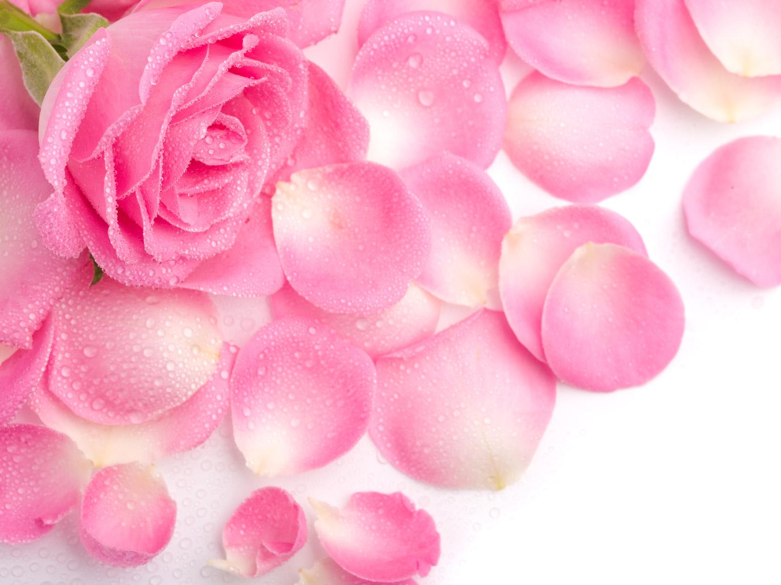pink rose wallpaper splendid