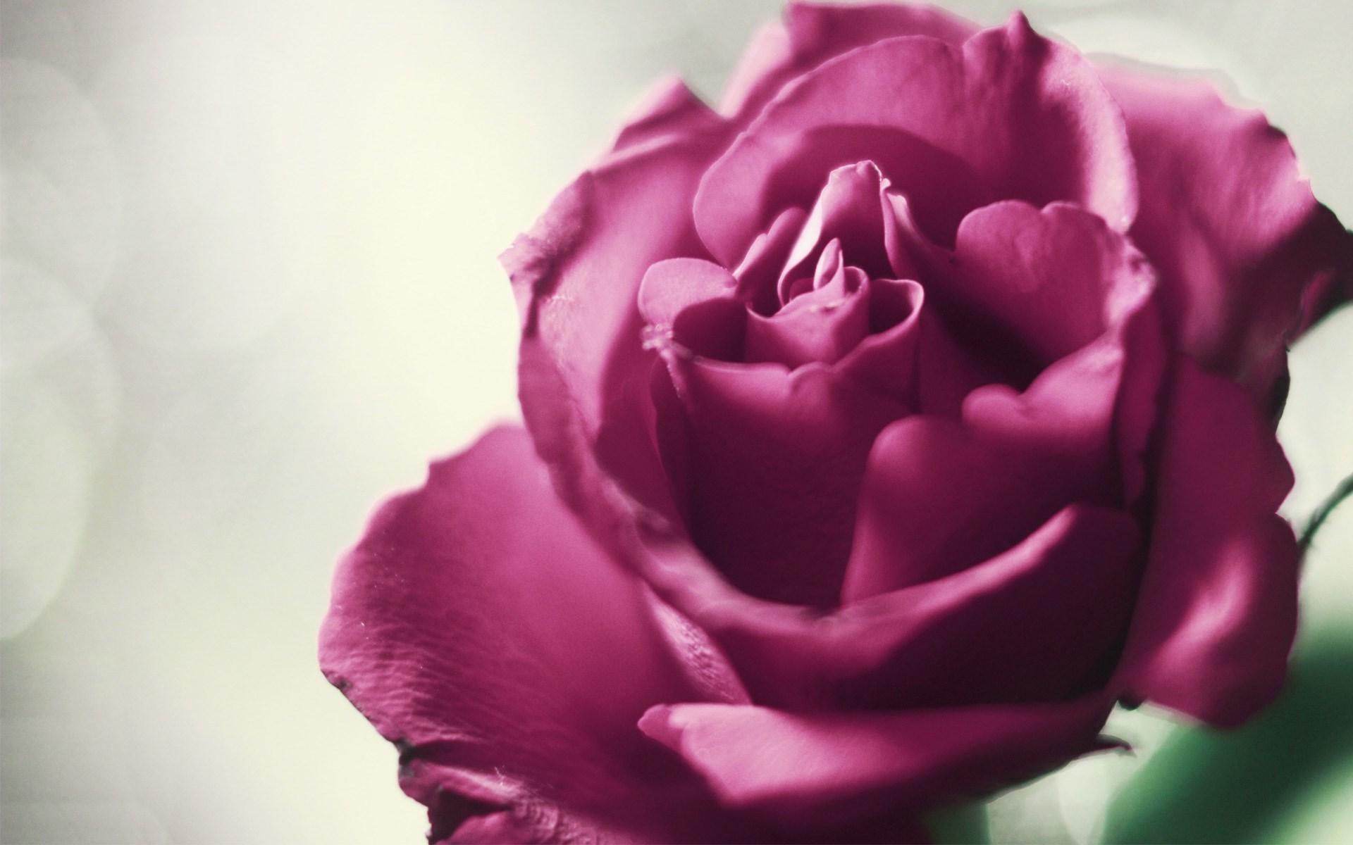pink roses wallpaper hd