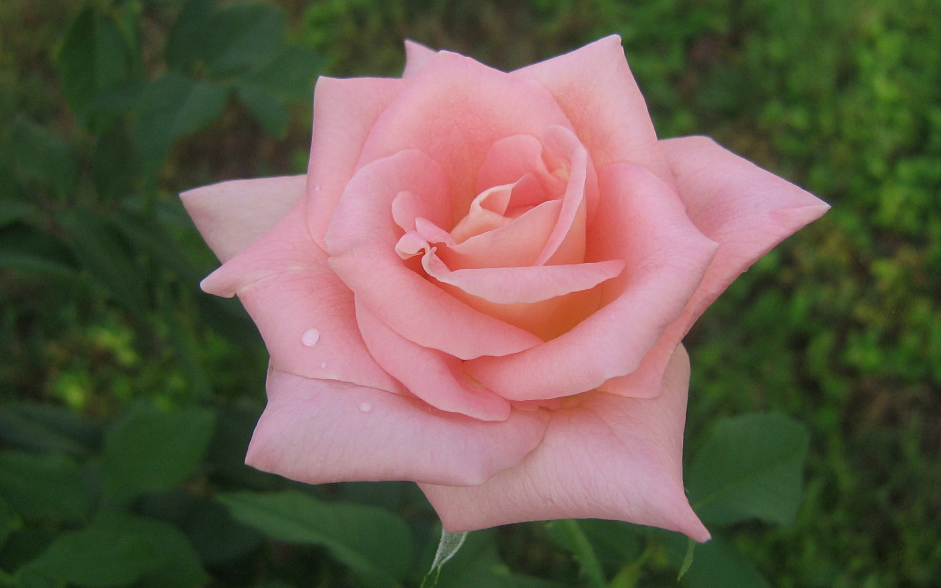Widescreen Pink Roses Wallpapers