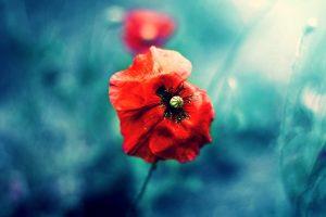 poppies nature