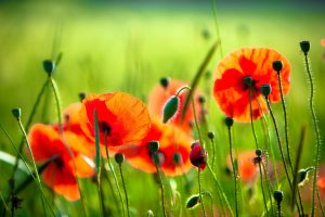 poppies wallpaper A1