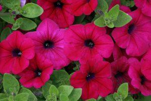 poppies wallpaper hd