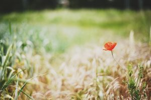 poppy backgrounds free nature