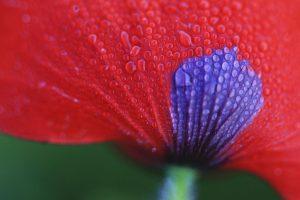 poppy desktop wallpaper