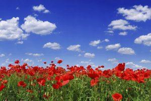 poppy field wallpaper
