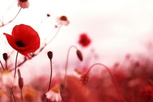 poppy images hd