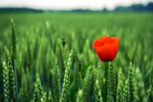 poppy picture hd