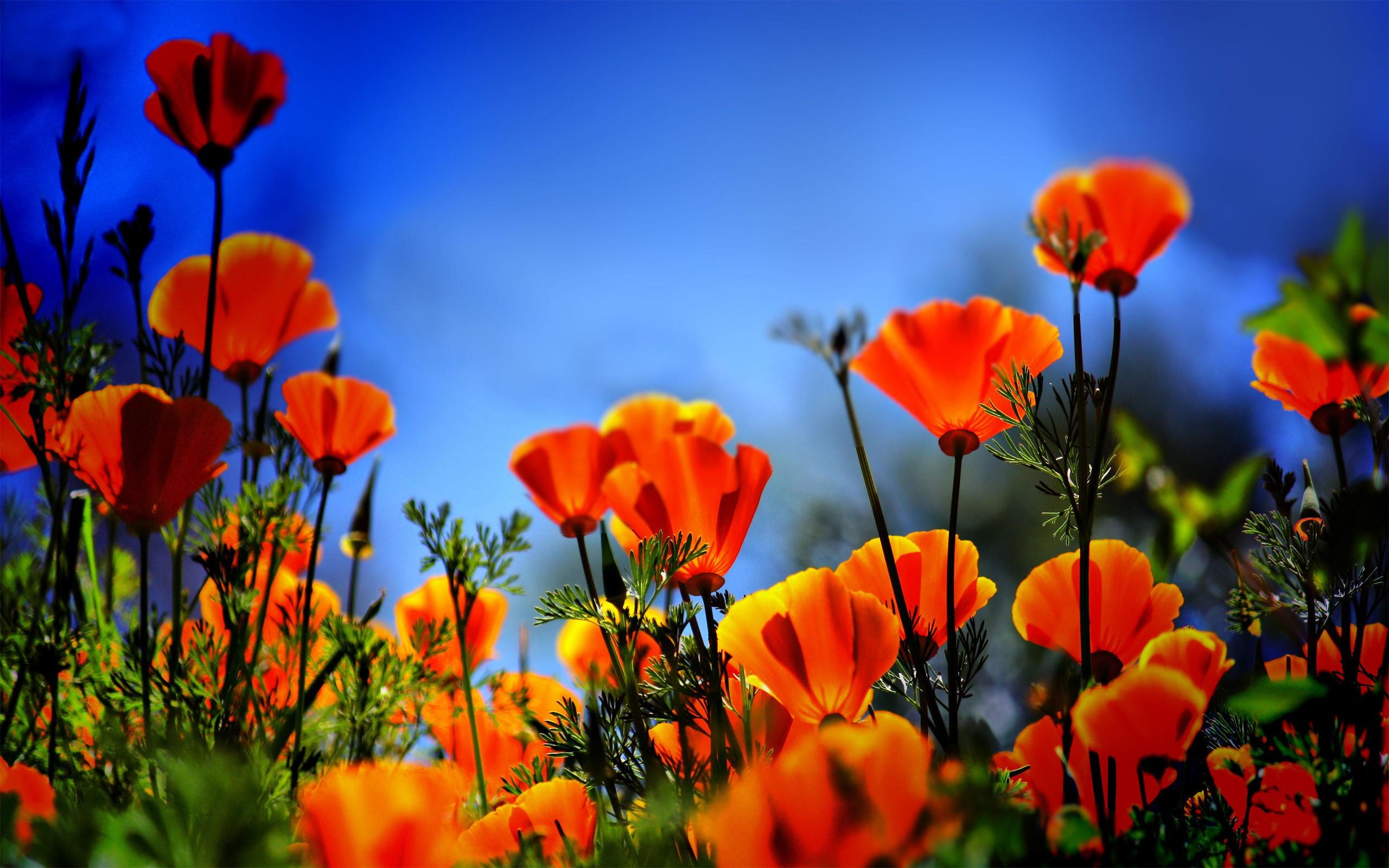 poppy wallpaper 1080P