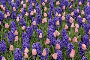 pretty hyacinth flowers