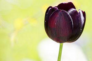 purple flower tulip