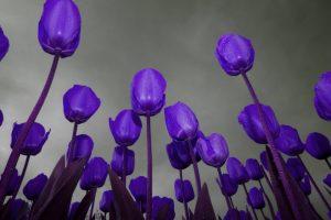 purple flowers A2