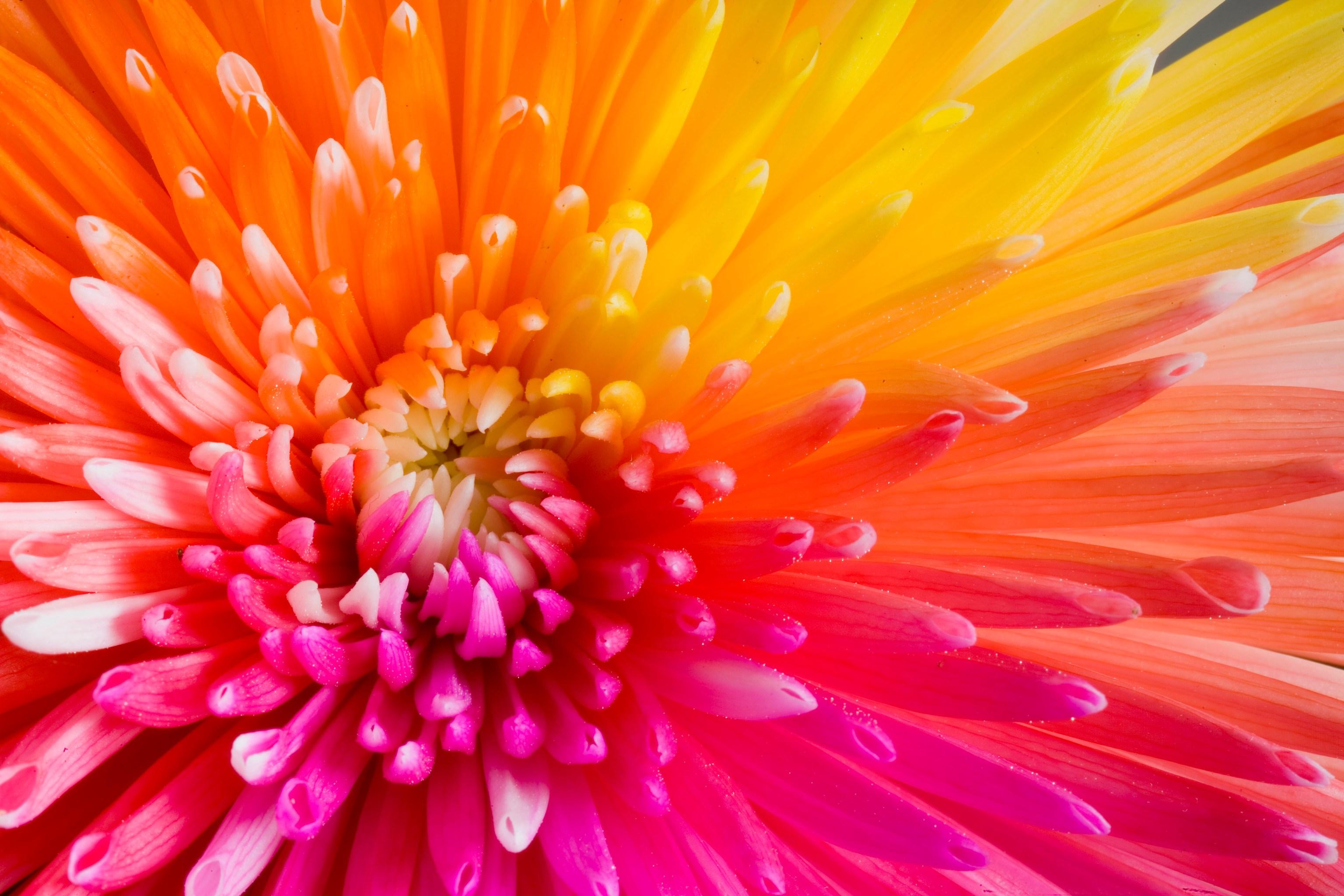 rainbow flower picture