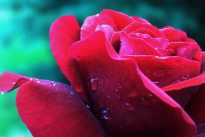 red and pink rose wallpaper