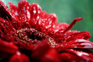 red flowers wallpaper A6