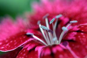 red macro wallpaper flower