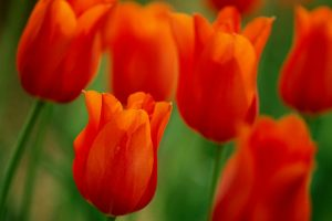 red tulips pictures