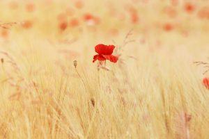 red wallpaper flower