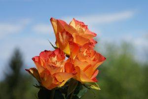 roses photos