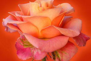 rose wallpaper live