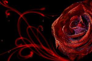 rose wallpepar