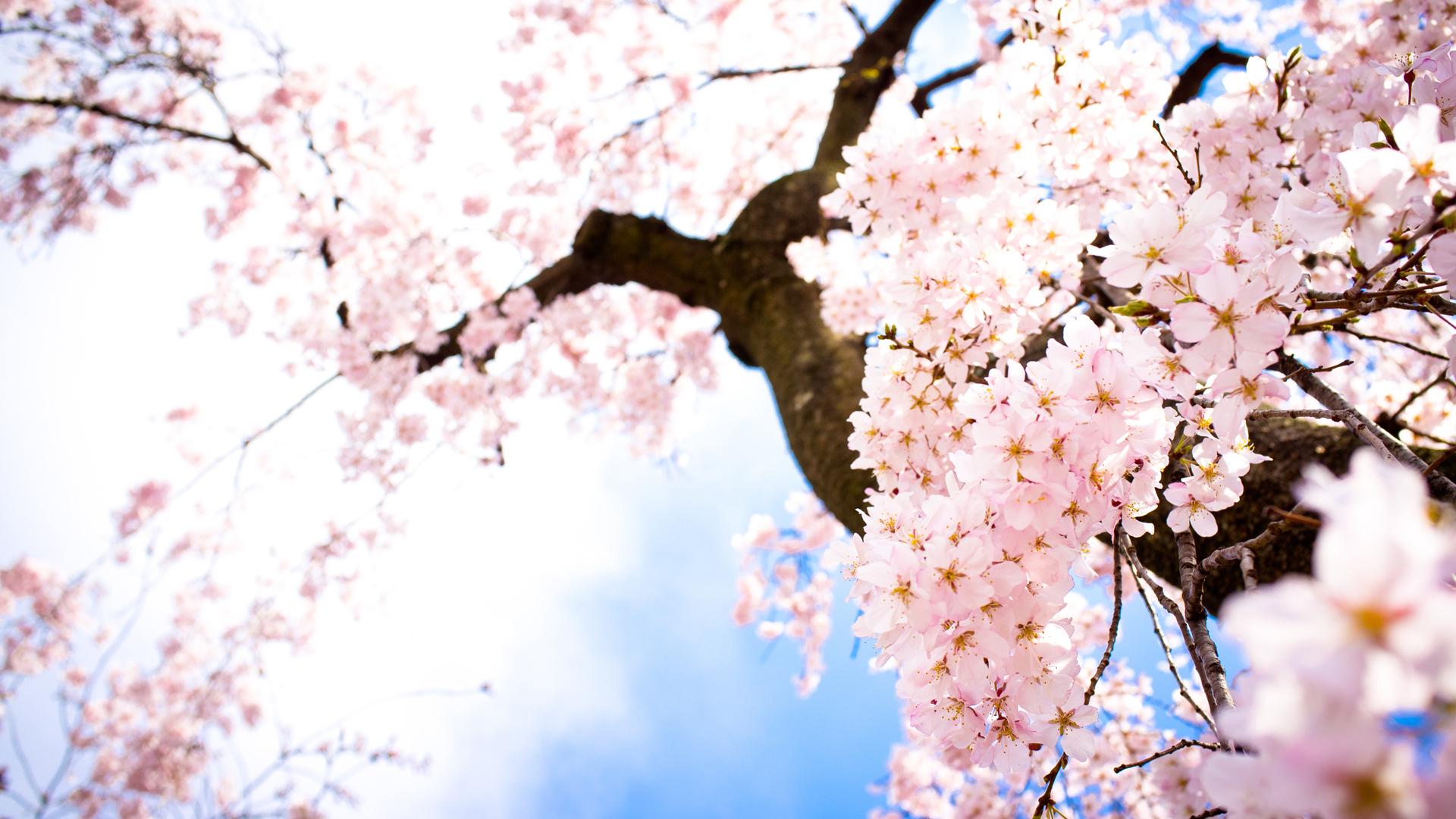 sakura flowers A6