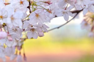 sakura wallpaper download