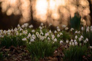 snowdrops spring season