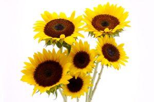 sun flower wall paper