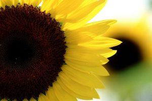 sunflower live wallpaper