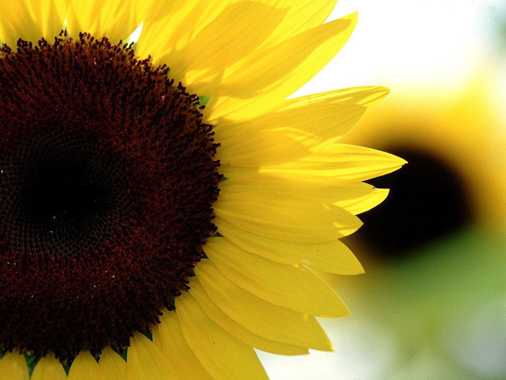 sunflower wallpapers - HD Desktop Wallpapers   4k HD
