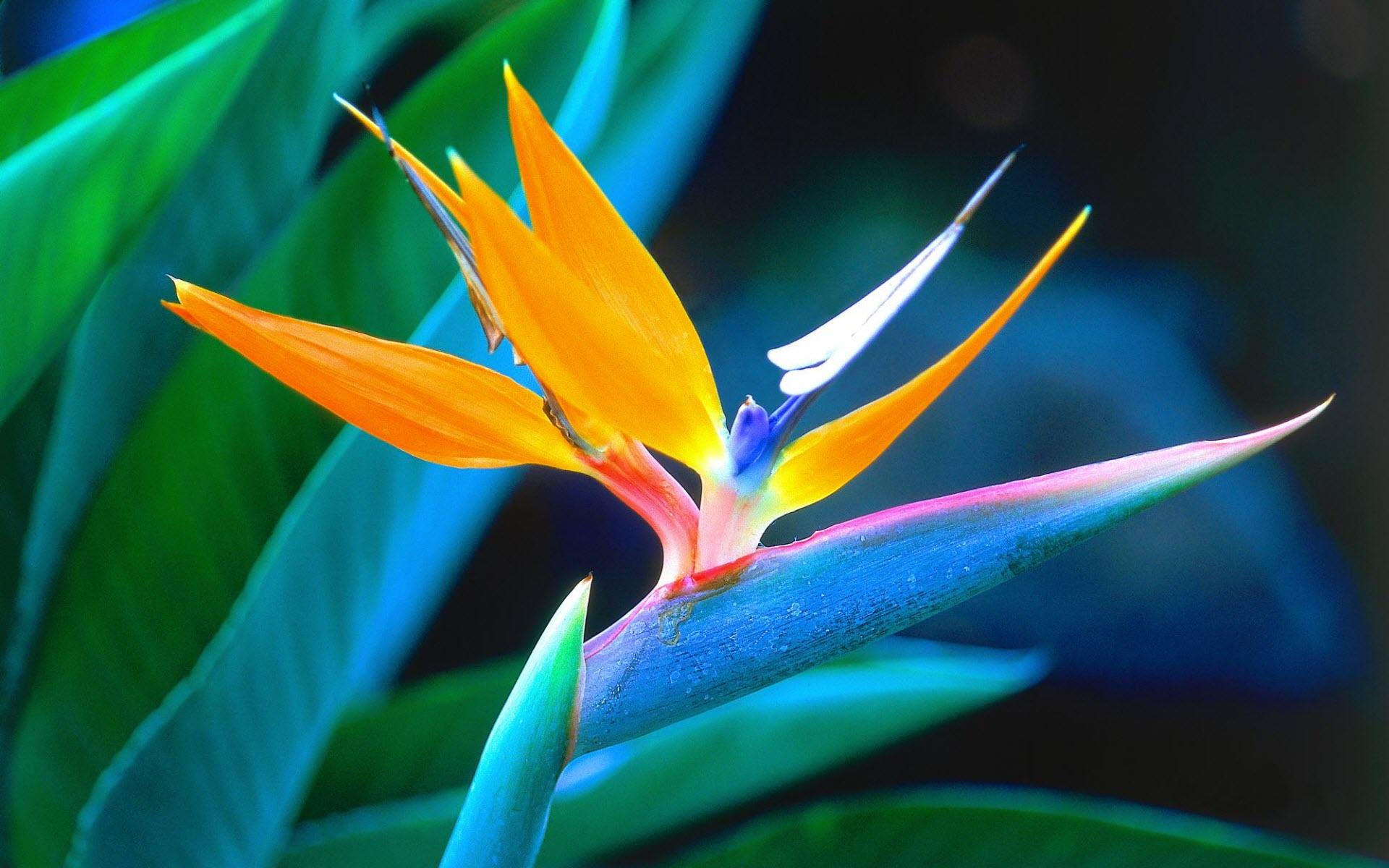 tropical flowers wallpaper hd