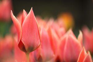 tulips flowers blur macro