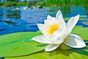 water flower background A13