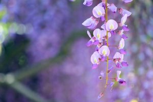 wisteria lilac flowers nature
