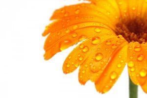 yellow flower wallpaper A20