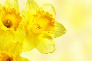 yellow flower wallpaper A4