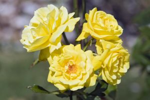 yellow rose flower wallpaper