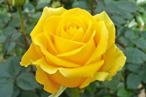 yellow rose wallpaper free download