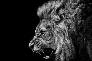 lion wallpapers hd 4k 10