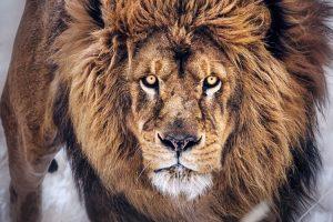 lion wallpapers hd 4k 18