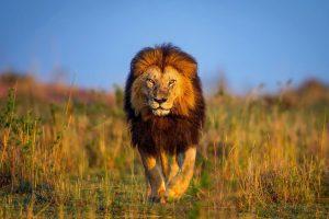lion wallpapers hd 4k 34