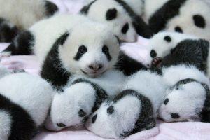 panda wallpaper hd 4k 28