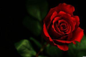 rose wallpapers hd 4k 21
