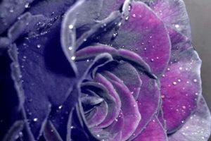 rose wallpapers hd 4k 37
