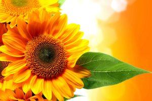 sun flower wallpaper hd 4k 1