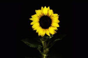 sun flower wallpaper hd 4k 11