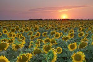 sun flower wallpaper hd 4k 17