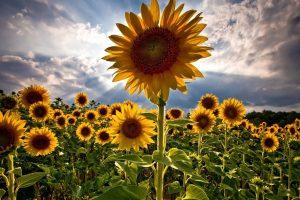 sun flower wallpaper hd 4k 18